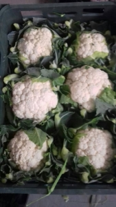 Export CauliFlower